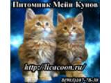 Логотип Питомник кошек породы мейн-кун LICACOON