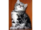 Логотип Питомник британских кошек VIVIAN.