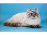 Логотип Питомник Сибирских невских маскарадных кошек ATLAS GRAND